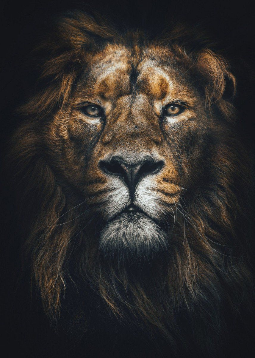 Lion King Head Poster Metal Poster Print Mk5 Studio Displate In 2020 Lions Photos Lion Pictures Animal Posters