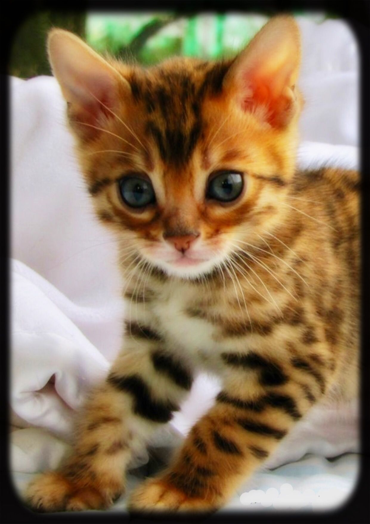 Cat Pics Image By Christianne Bengal Kitten Bengal Cat Kittens