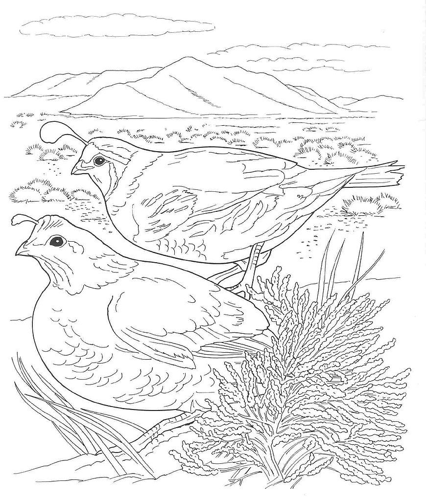 Desert Animals Coloring Pages California Quail Bird Coloring