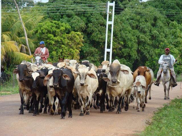 Arreo de ganado en Espino Estado Guarico Venezuela