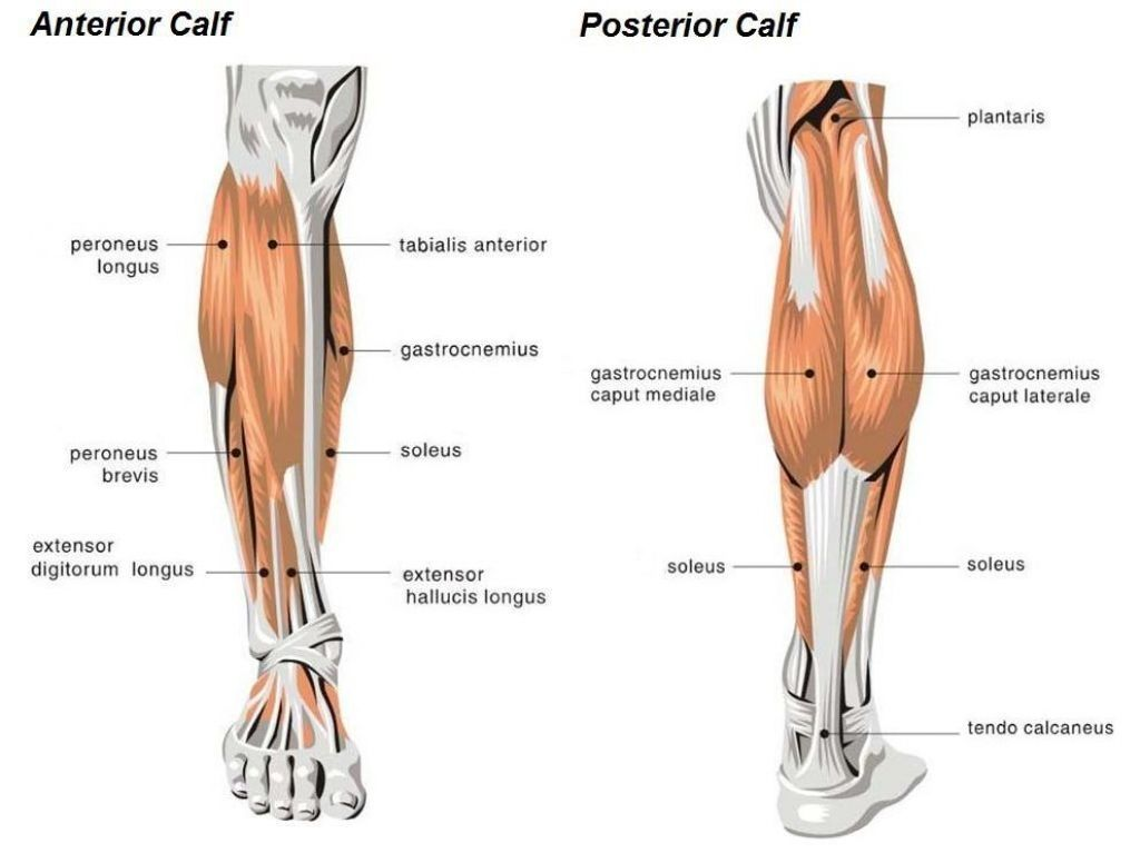 Anatomy Of Calf Muscle Secrets For Calf Development Eternalgreatness