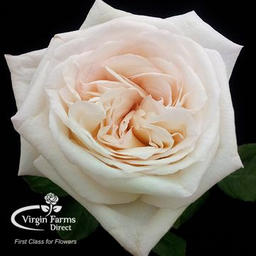 White Ou0027Hara Garden Rose Awesome Ideas
