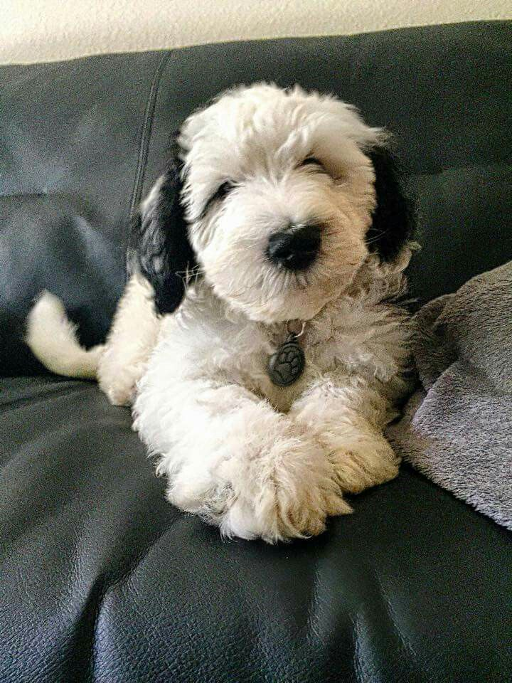 Goldendoodle Puppies For Sale In Indiana That Are Under $300 2021