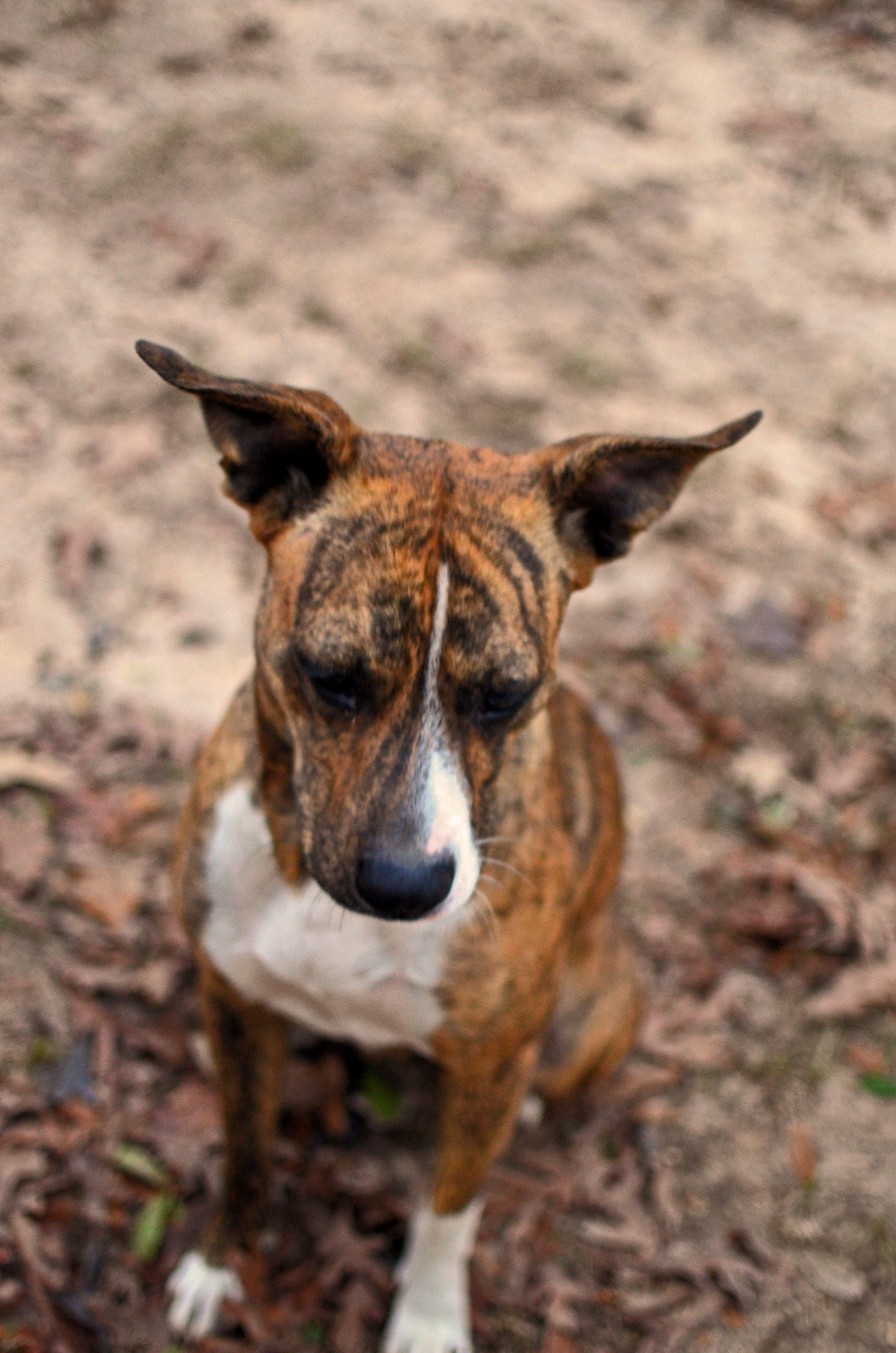 Mountain Cur Dog, Hula (Beyond Skin Photography