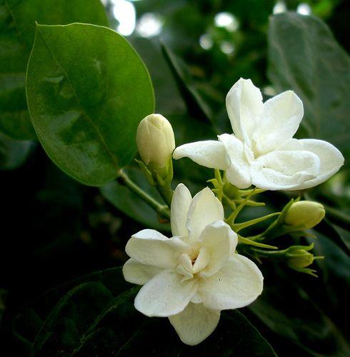 Sampaguita In Islamabad Sampaguita Fragrant Flowers Jasmine Flower