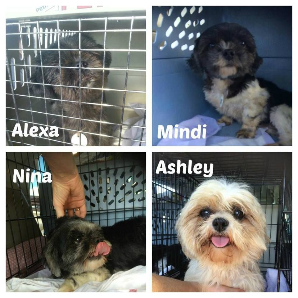 Crossroads Shih Tzu Rescue A Tallahassee Rescue Group Took In Some