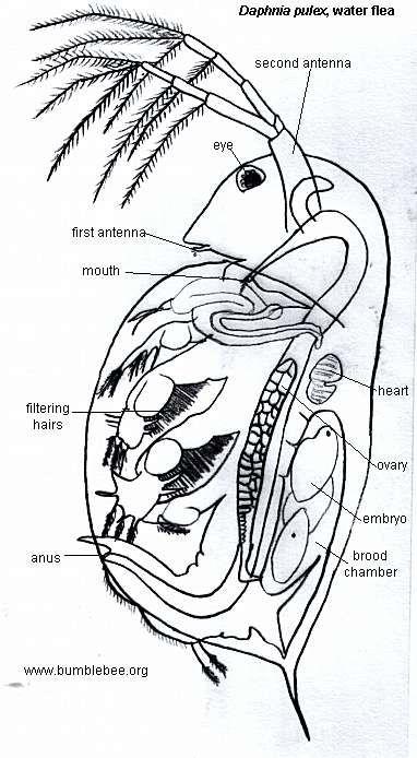 daphnia pulex  water flea
