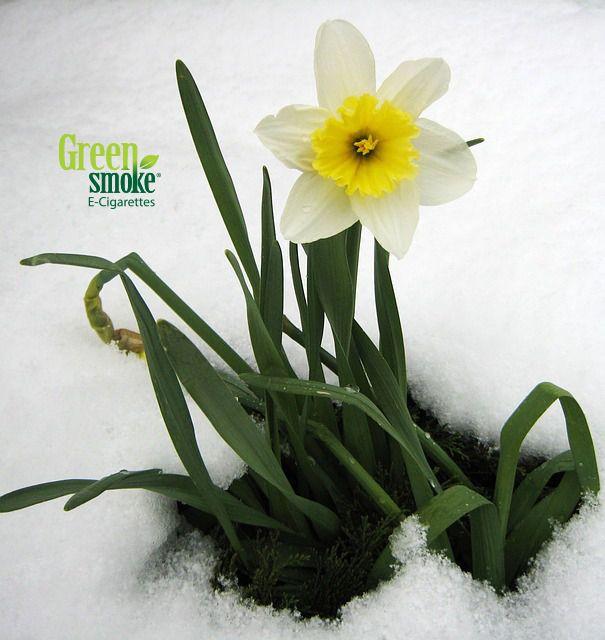 Narsissi talvella...