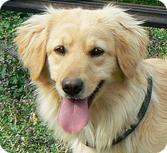 Allentown Pa Golden Retriever Labrador Retriever Mix Meet