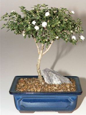 Snow Rose Serissa Bonsai Tree Medium Serissa Foetida Snow Rose Buy Bonsai Tree Indoor Bonsai Tree