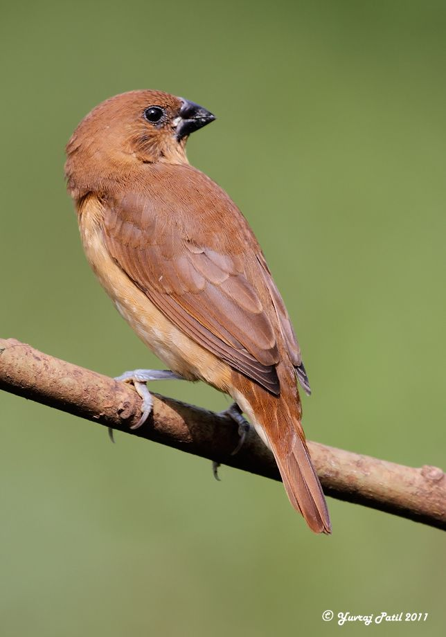 The Lady........................ The Scaly-breasted Munia or Spotted Munia (Lonchura punctulata) are found in open habitats including gardens and agricultural fields where they forage in groups for grass seeds.