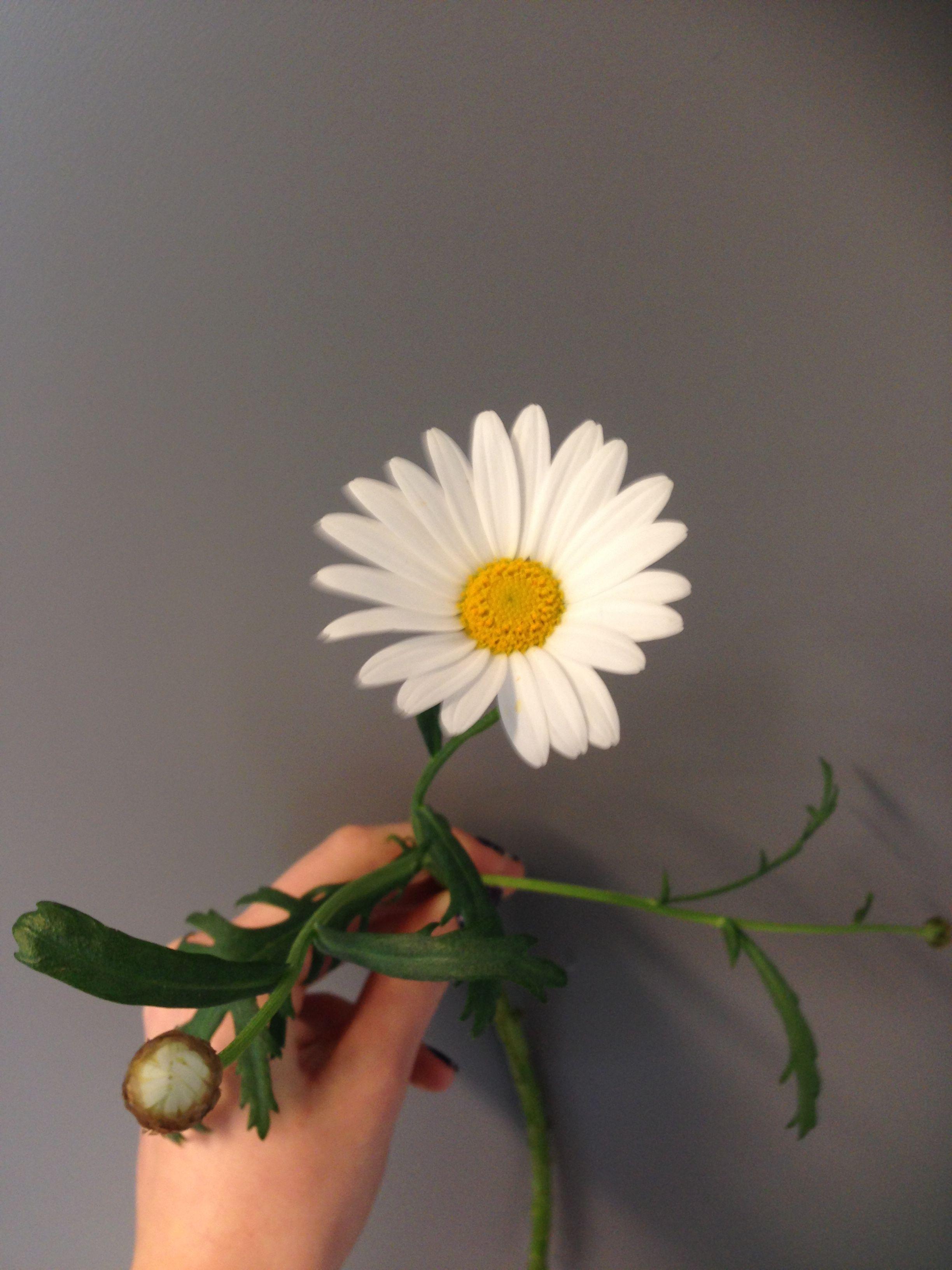 Margeritt - Argyranthemum frutescens