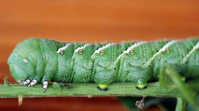 tomato horn worm (Manduca sexta) Carolina sphinx moth caterpillar