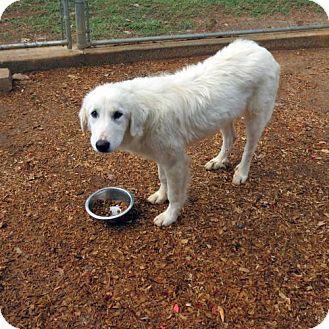 10/16/16 Granbury, TX - Great Pyrenees. Meet Belinda, a dog for adoption. http://www.adoptapet.com/pet/16829187-granbury-texas-great-pyrenees