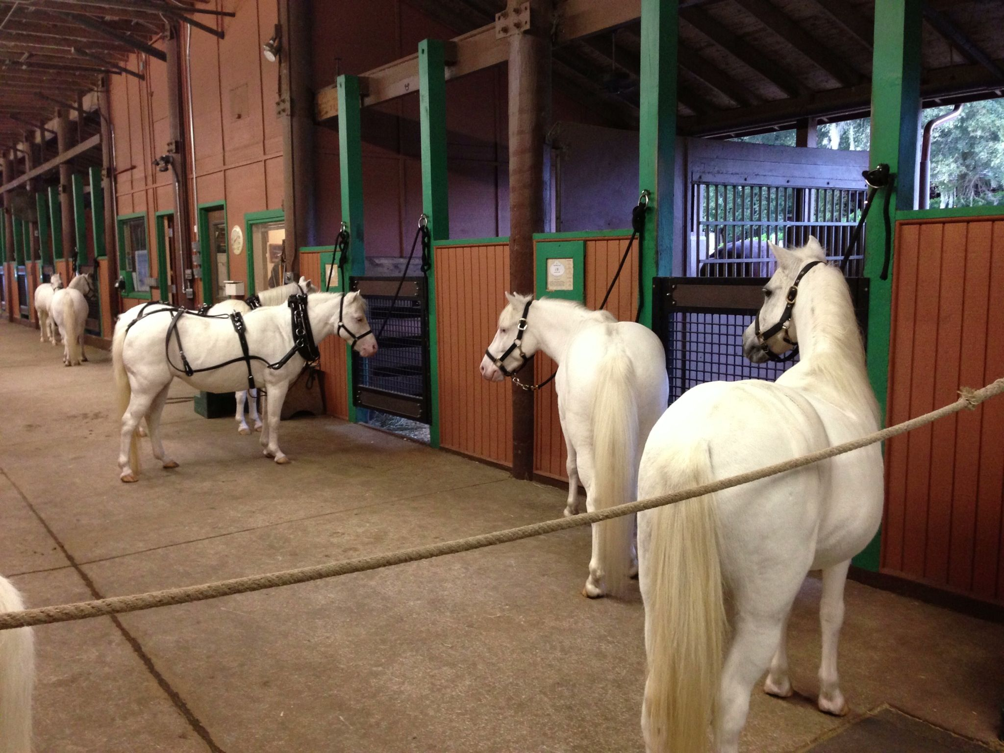 Cinderella Carriage ponies await their groom at the Tri Circle D ...
