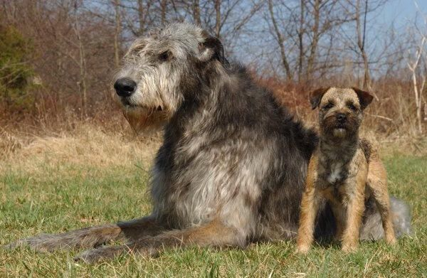 Irish Wolfhound And A Border Terrier Two Of My Favorite Breed Of