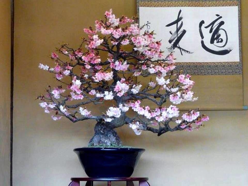 Cherry Blossom Bonsai Cherry Blossom Bonsai Tree Indoor Bonsai Tree Bonsai Flower
