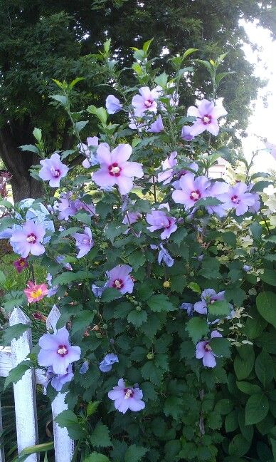 Blue Angel Perennial Hibiscus My Blooms Trees To Plant Garden