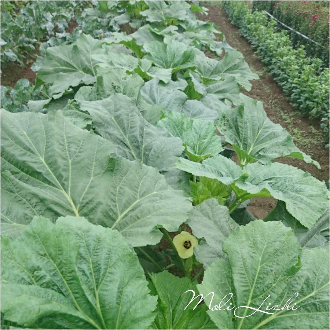 オクラ 葉の陰にひっそりと咲くオクラの花です綺麗でしょ やさい 野菜 蔬菜 Ovoshi Vegetables Okra It Is An Okra Flower Quietly Blooming In The Shade Of The Leaf Pretty Is Not It オクラ 野菜