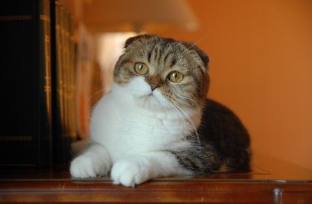 Cattery of Doux Coeurs. Scottish Fold and British Shorthair