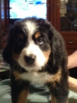 Litter Of 5 Bernese Mountain Dog Puppies For Sale In Augusta