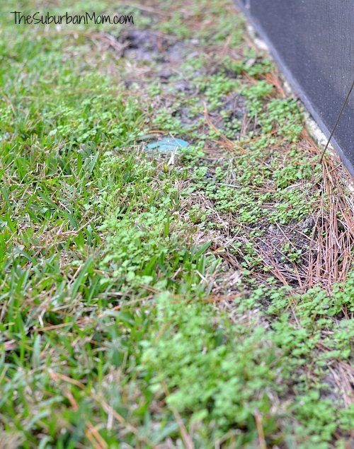 How To Get Rid Of Clover Dollarweed Lawn Care Tips Lawn Care Lawn