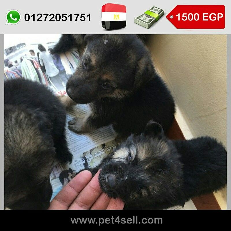 مصر الأسكندرية سعر الكلب ذكر او نتايه ١٥٠٠ النوع جيرمن شيبرد السن ٥٥ يوم السعر قابل للتفاوض Pet4sell Dogs Animals