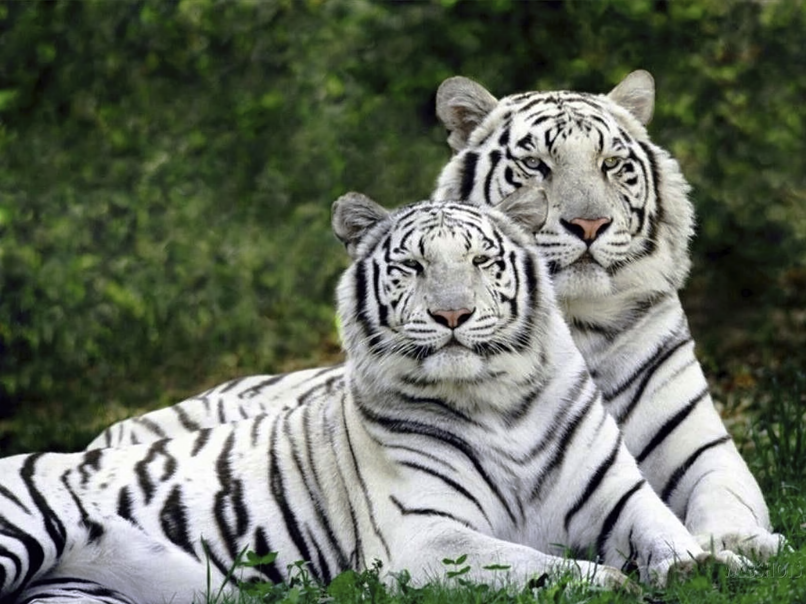 WhiteTiger0105.png 6000x4500x24(RGB) #white #tiger  #animal #endangered #predator #majestic