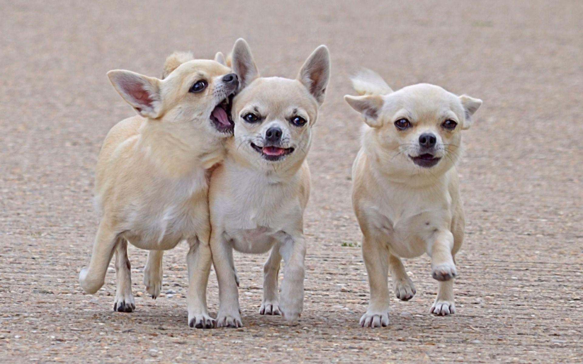 Best Chihuahua Canine Adorable Dog - 6f7ca711fec17d3395f98d74be723de6  Graphic_584852  .jpg