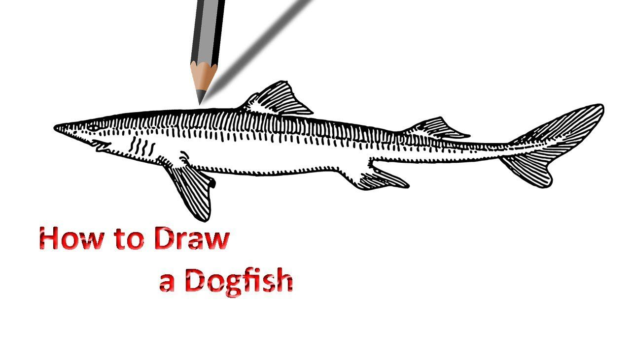 Dogfish Drawing | Drawing | Pinterest for dogfish drawing  555kxo