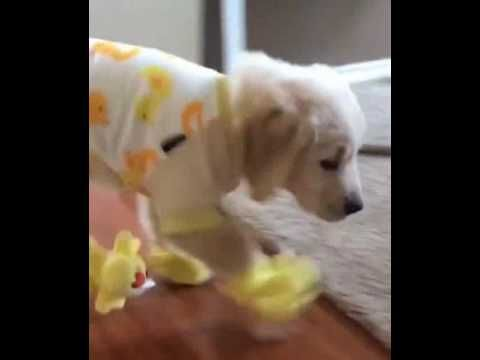 Golden Retriever Wears Duck Pajamas Slippers Puppies In Pajamas