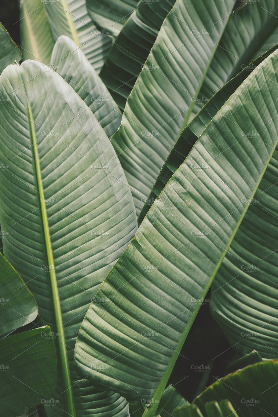 Lush Tropical Banana Leaves By Rene Jordaan Photography