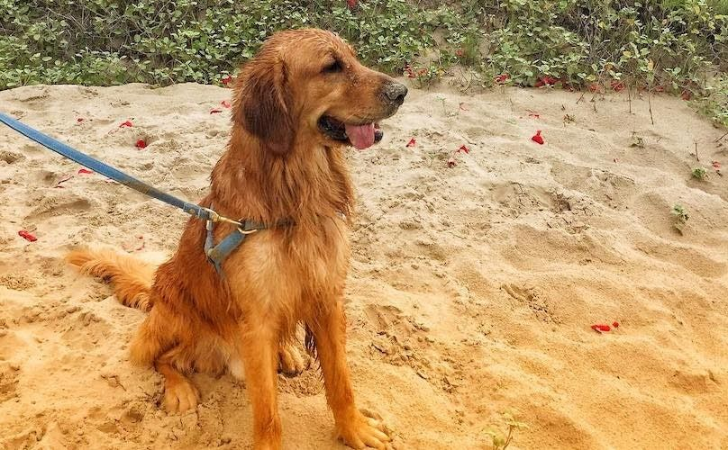 Golden Retriever Breed Information Guide Quirks Pictures