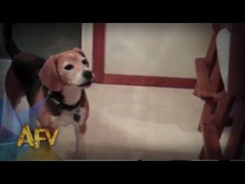 Most Inspiring Video Beagle Adorable Dog - 6f7e2b7359cfc7a88d0a87df2663c292  Picture_343818  .jpg