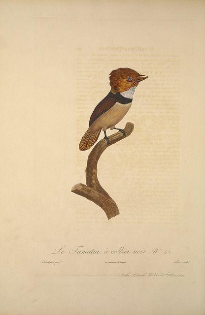 Histoire naturelle des oiseaux de paradis et des rolliers :.  Paris :Chez Denné le jeune ... [et] chez Perlet ...,1806