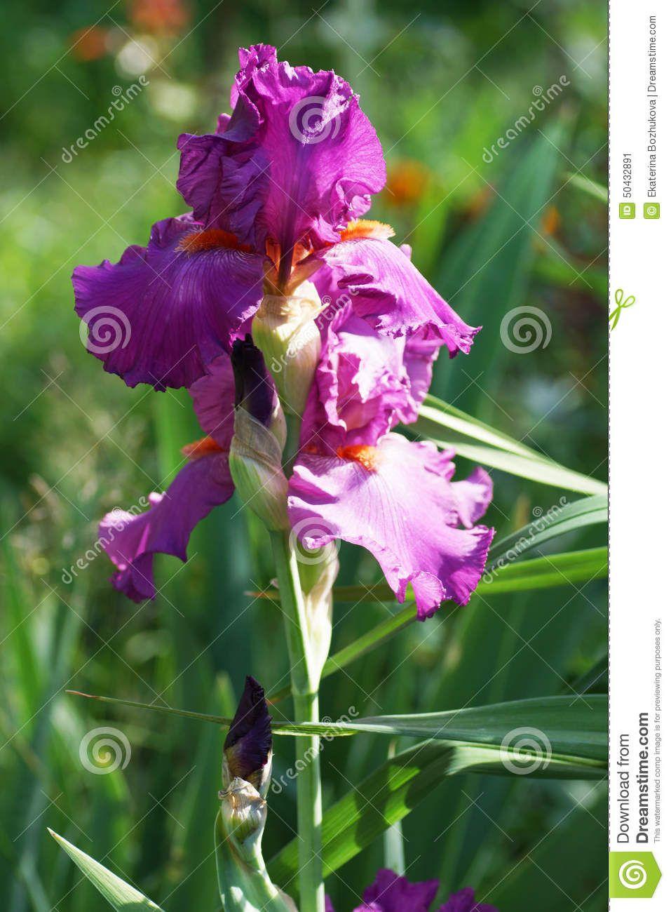 Pink iris flower in the garden tattoo pinterest iris formal pink iris flower in the garden izmirmasajfo