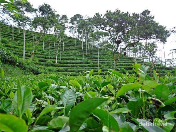 Wisata Agro Kebun Teh Wonosari Lawang Malang