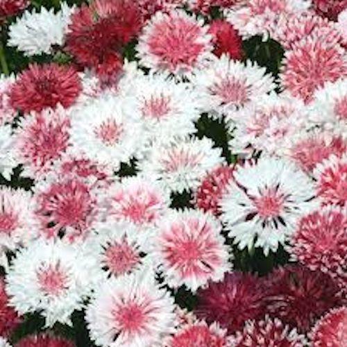 1500 Seeds Flower Mr Fothergills RHS Amaranthus Velvet Curtains