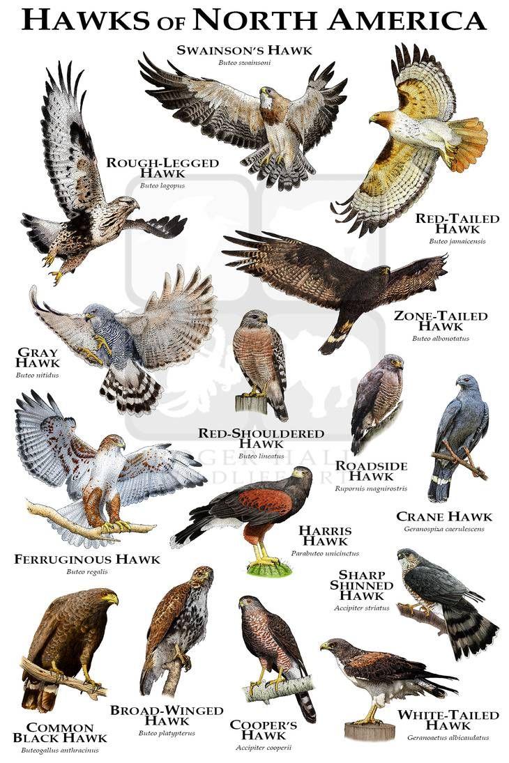 Hawks Of North America By Rogerdhall On Deviantart Backyard Birds Watching Hawk Species Backyard Birds