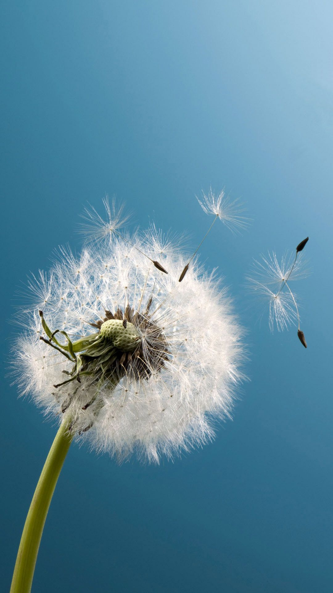 Dandelion Wind Blow Android Wallpaper Wallpapers Wallpaper