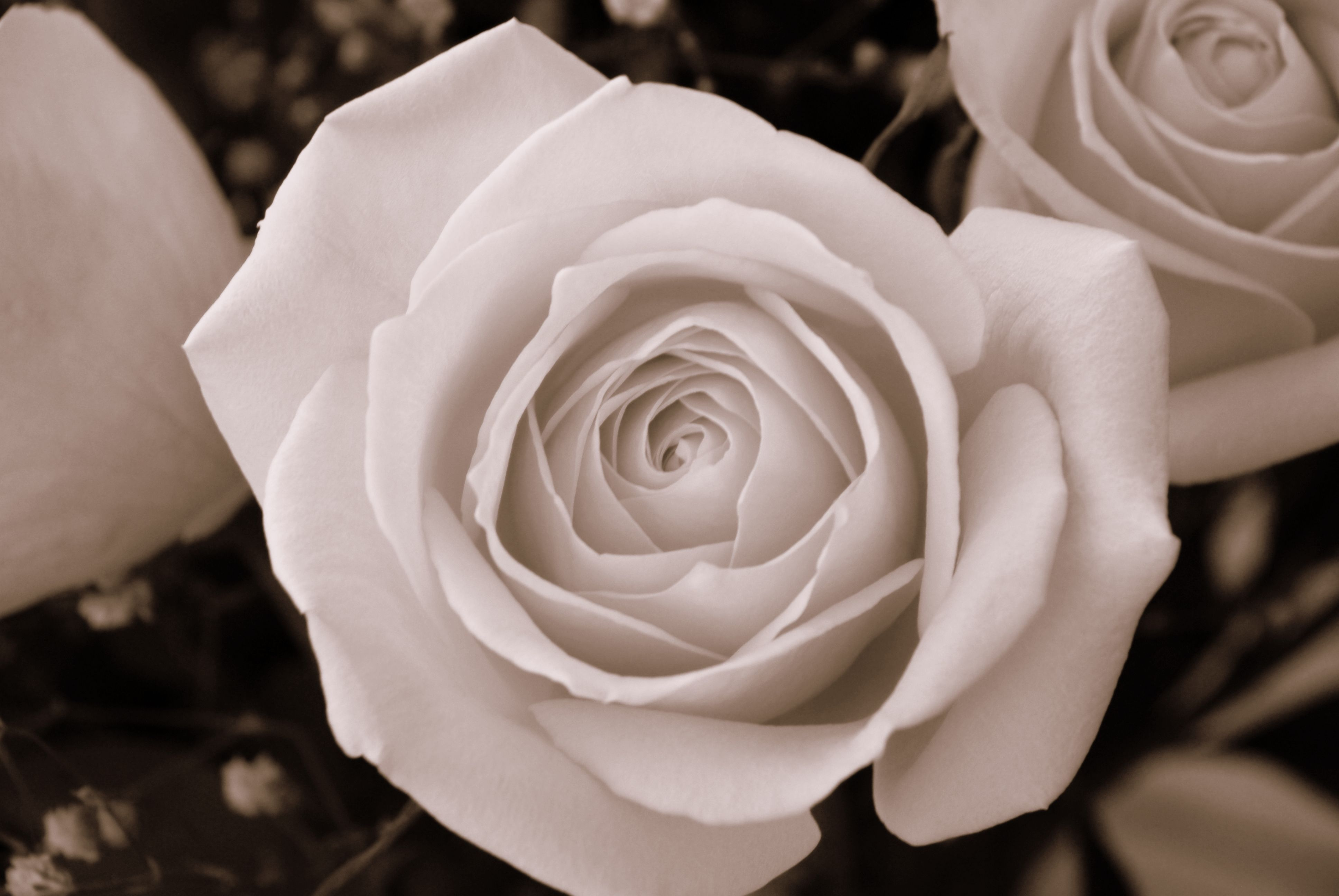 a rose for emily | rose for Emily by 21ROSEBUDS on DeviantArt