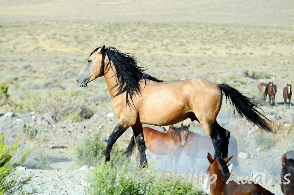 Wild Buckskin Horses