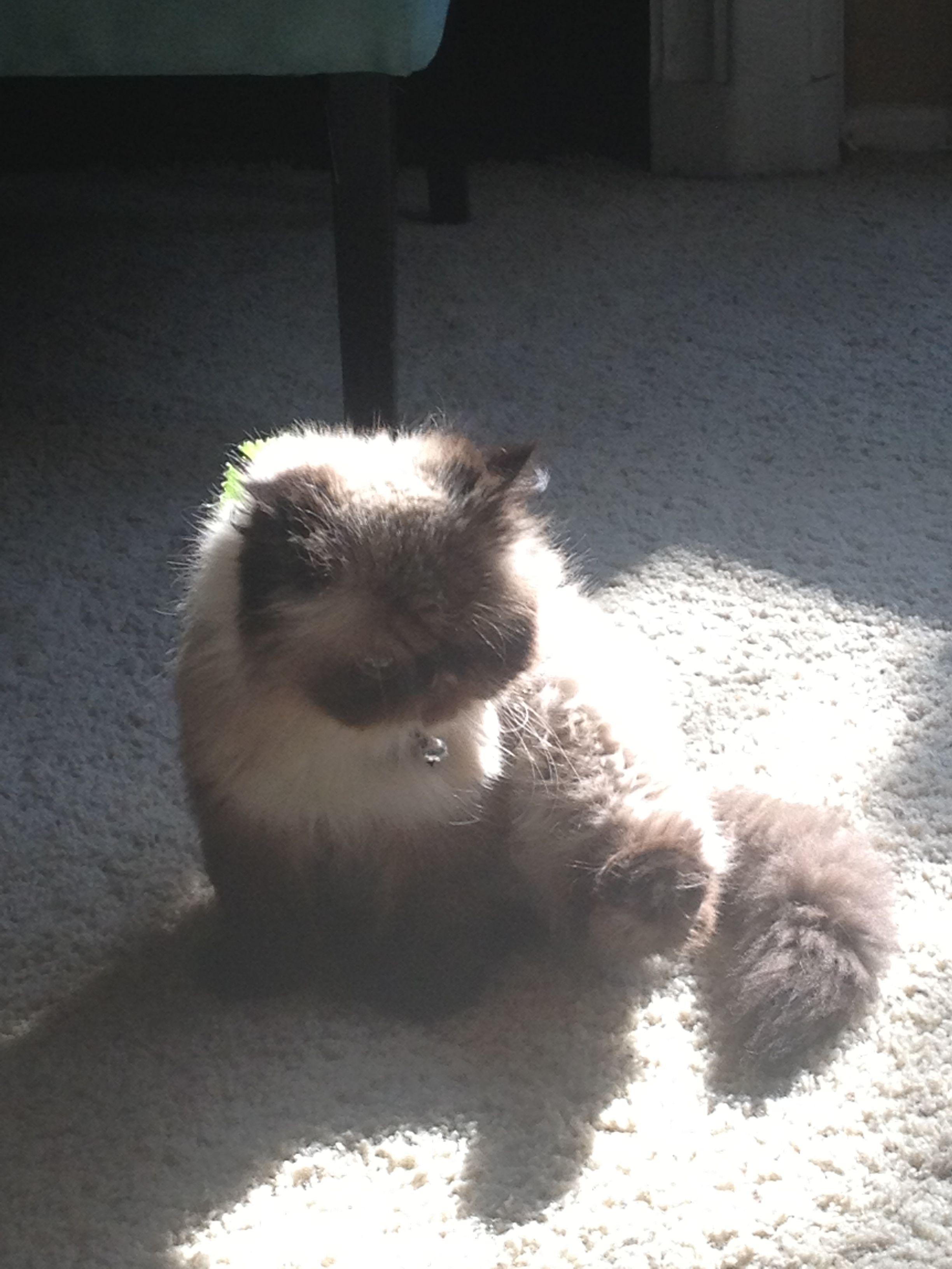 Sweet girl Himalayan persian cats, Persian cat, Animals