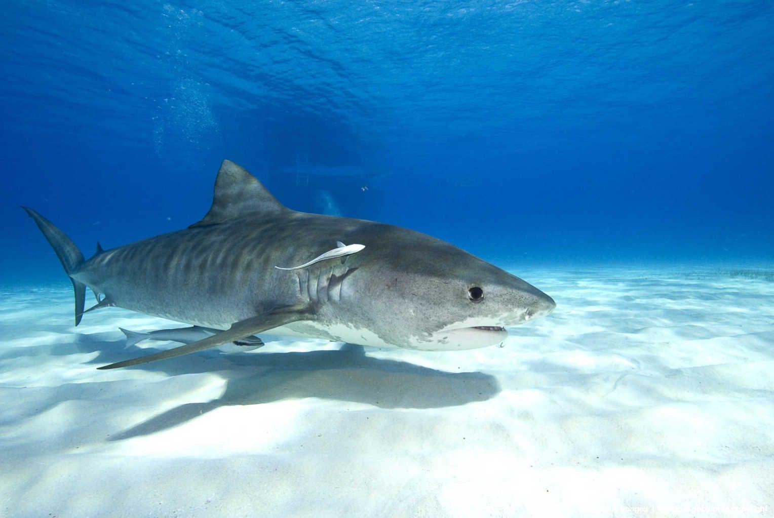 -Tiger shark (Galeocerdo cuvier) off Tiger Beach.