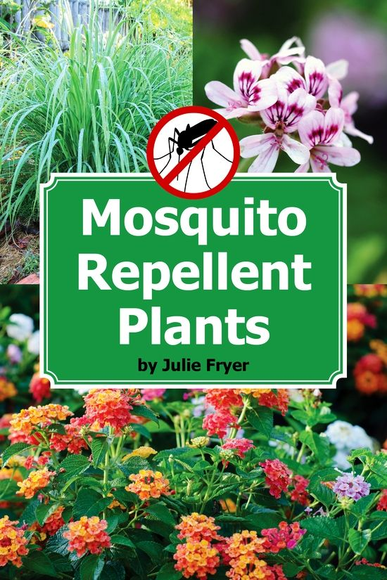 repel mosquitoes with these plants. Black Bedroom Furniture Sets. Home Design Ideas
