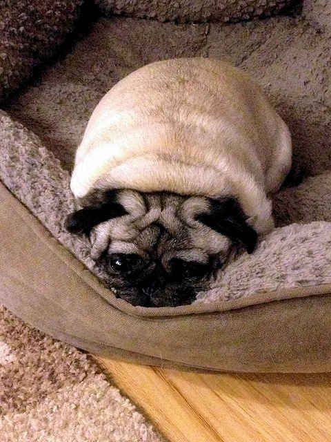 And These Scrunched Up Pug Eyes Pugs Spirit Animal Quiz Animals