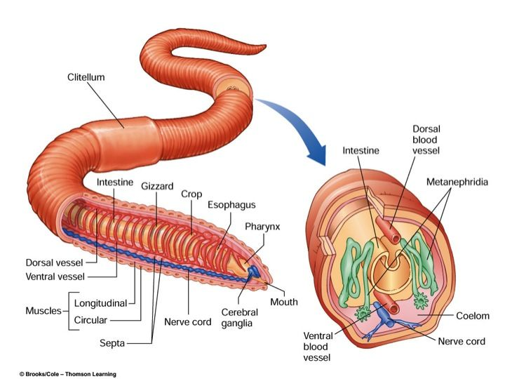 Coelom Earthworm Diagram Labeled - Auto Electrical Wiring Diagram •