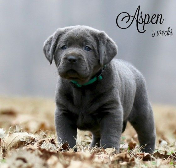Found On Google From Pinterest Com Lab Puppies Charcoal Lab Puppies Silver Lab Puppies