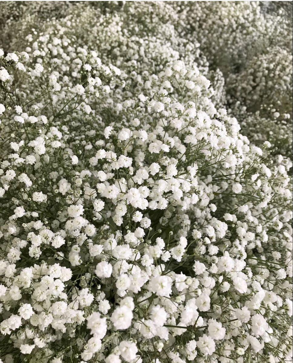 Baby Breath Flowers In 2020 Wholesale Fresh Flowers Baby S Breath Wedding Flowers Babys Breath