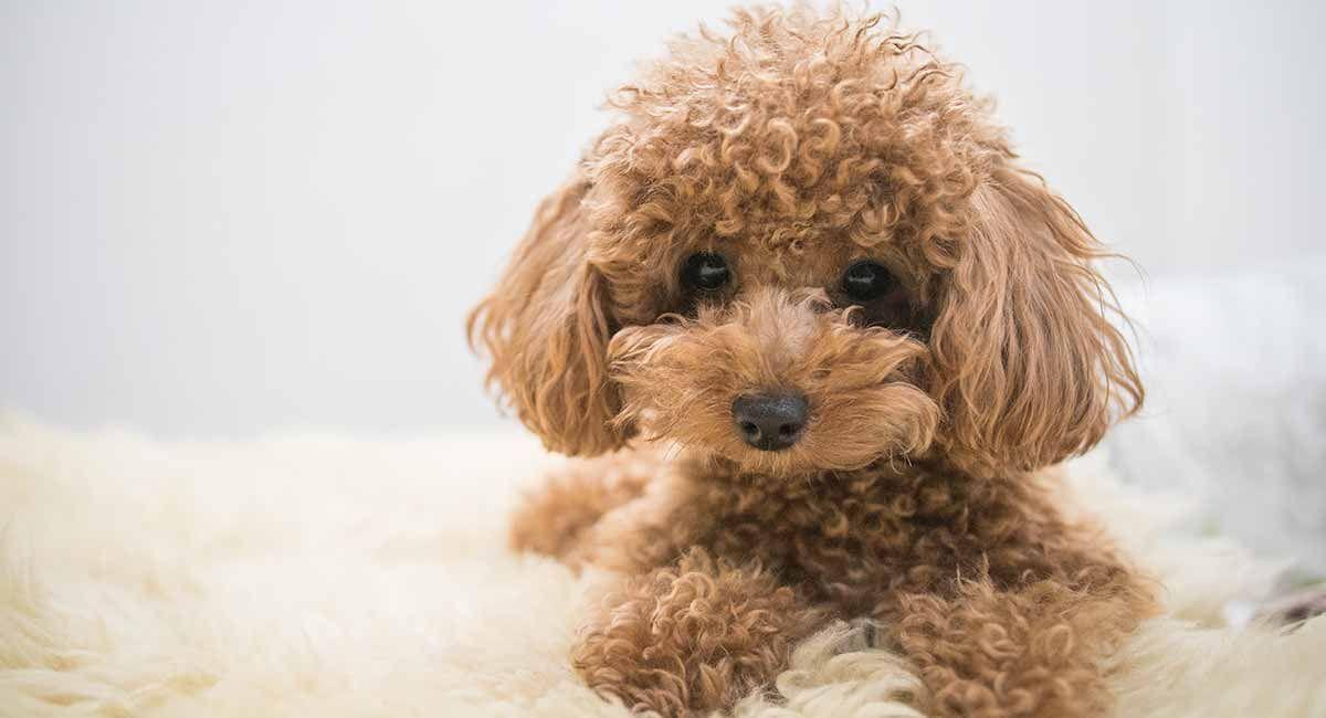 Top 10 Smartest Dog Breeds Smartest Dog Breeds Curly Dogs Toy